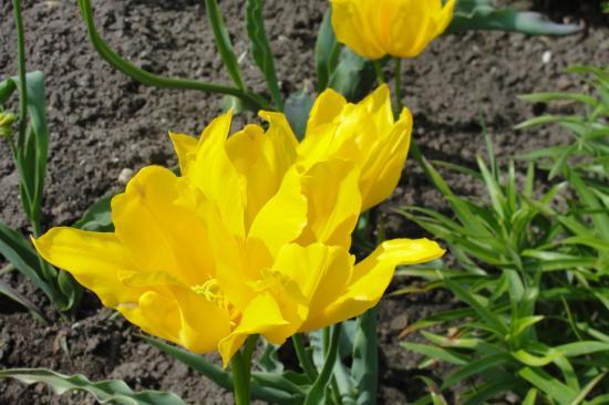 25-Une autre tulipe...