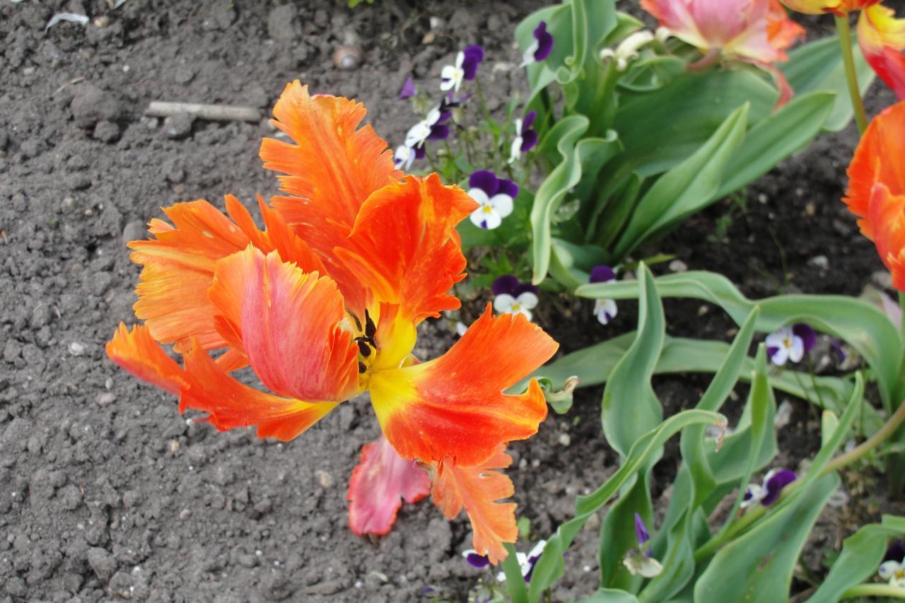 15-Une tulipe...